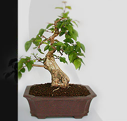 bonsai do pflegetipps bonsai umtopfen. Black Bedroom Furniture Sets. Home Design Ideas