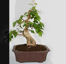 bonsai do pflegetipps bonsai umtopfen. Black Bedroom Furniture Sets. Home Design Ideas